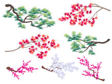 Korean Pine, Japanese Maple And Blooming Cherry Branches