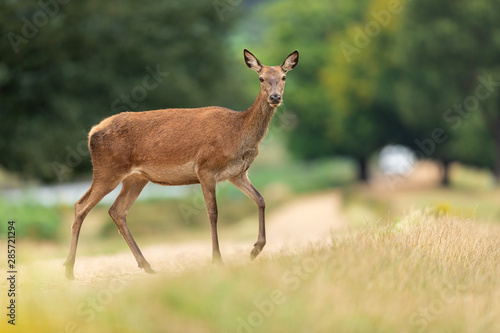 Deurstickers Ree Red deer in richmond park