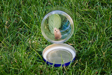 Butterfly In A Jar Being Released; Wood Nymph Butterfly Observed In A Clear Jar