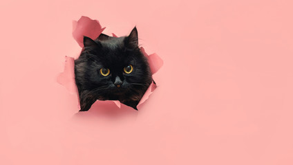FototapetaFunny black cat looks through ripped hole in pink paper. Peekaboo. Naughty pets and mischievous domestic animals. Copy space. Yellow eyes.