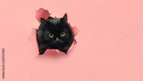 Keuken foto achterwand Kat Funny black cat looks through ripped hole in pink paper. Peekaboo. Naughty pets and mischievous domestic animals. Copy space. Yellow eyes.
