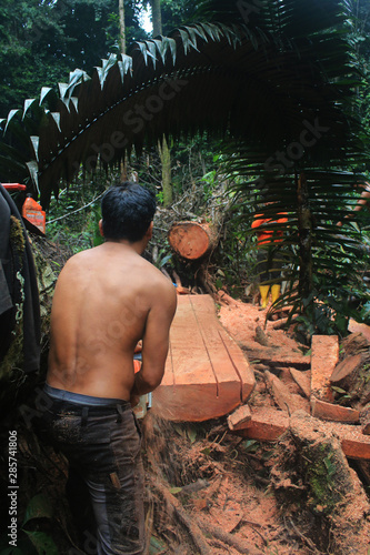 Logging within tropical forest, a large trunk being cut in pieces with a chainsa Wallpaper Mural