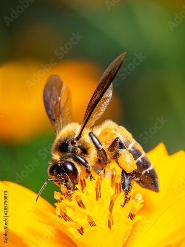 Recess Fitting Bee Image of bee or honeybee on yellow flower collects nectar. Golden honeybee on flower pollen with space blur background for text. Insect. Animal