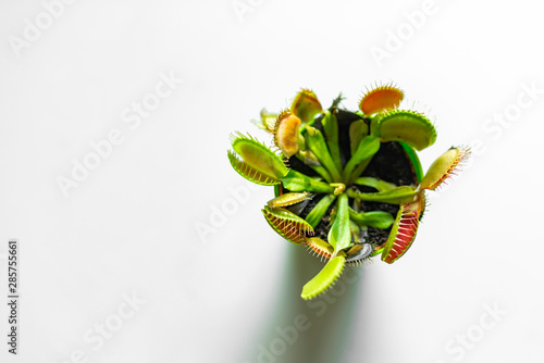 Foto Venus Flytrap (Dionaea) in a pot, isolated on white background