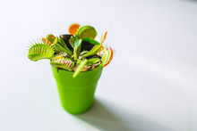 Venus Flytrap (Dionaea) In A Pot, Isolated On White Background. Venus Flytrap (Dionaea Muscipula), Carnivorous Plant In A Pat Isolated On White. Insect Eating Plant.