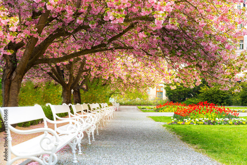 Fototapety, obrazy: Park with blossom sakura, flower lawn and benches