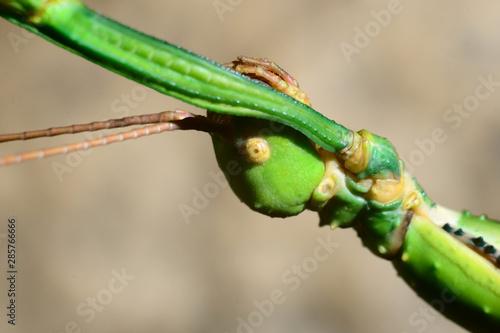 stick insect in terrarium Canvas Print