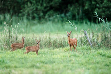 Roe Deer Doe With Two Fawns In...