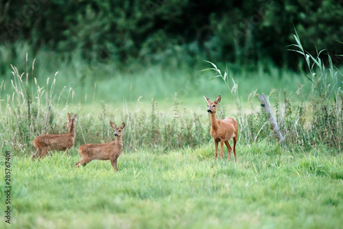 Obraz na plátně Roe deer doe with two fawns in meadow.