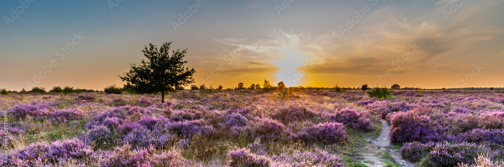 Fototapeta Purple pink heather in bloom Ginkel Heath Ede in the Netherlands. Famous as dropping zone for the soldiers during WOII operation Market Garden Arnhem.