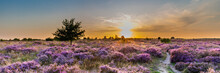 Purple Pink Heather In Bloom Ginkel Heath Ede In The Netherlands. Famous As Dropping Zone For The Soldiers During WOII Operation Market Garden Arnhem.