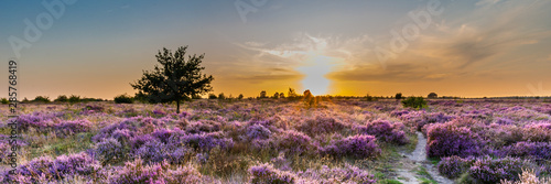 Obraz Purple pink heather in bloom Ginkel Heath Ede in the Netherlands. Famous as dropping zone for the soldiers during WOII operation Market Garden Arnhem. - fototapety do salonu