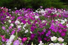 Colorful Blooming Petunia Flow...