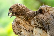 Red-tailed Hawk Or Buteo Jamaicensis Close-up Portrait