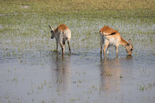 Two Red Lechwe Antelopes In Th...
