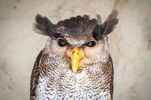 Barred Malay Eagle Owl With Ye...