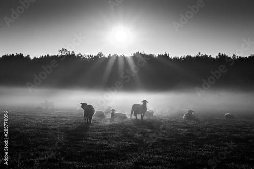 Schafe im Frühnebel auf den Ruhrwiesen in Duisburg Tablou Canvas