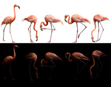American Flamingo Bird On Dark And White Background