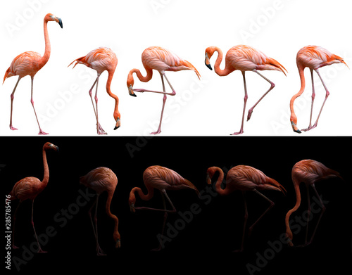 Fototapeta american flamingo bird on dark and white background