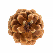 Pine Cone Isolated On White Background, Top View