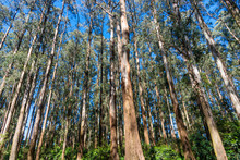 Forest In Dandenong Mountains ...
