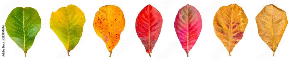 Fototapety, obrazy: Cycle of leaves change seasons. Sea almond Leaves isolated on a white background with clipping path.