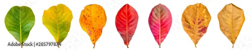 Fototapeta Cycle of leaves change seasons. Sea almond Leaves isolated on a white background with clipping path. obraz