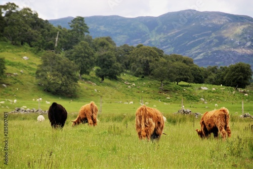 Photo Highland cows on a meadow, seen from behind