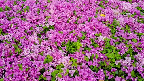 Fotografia large pink bougainvillea plant under tropical climate
