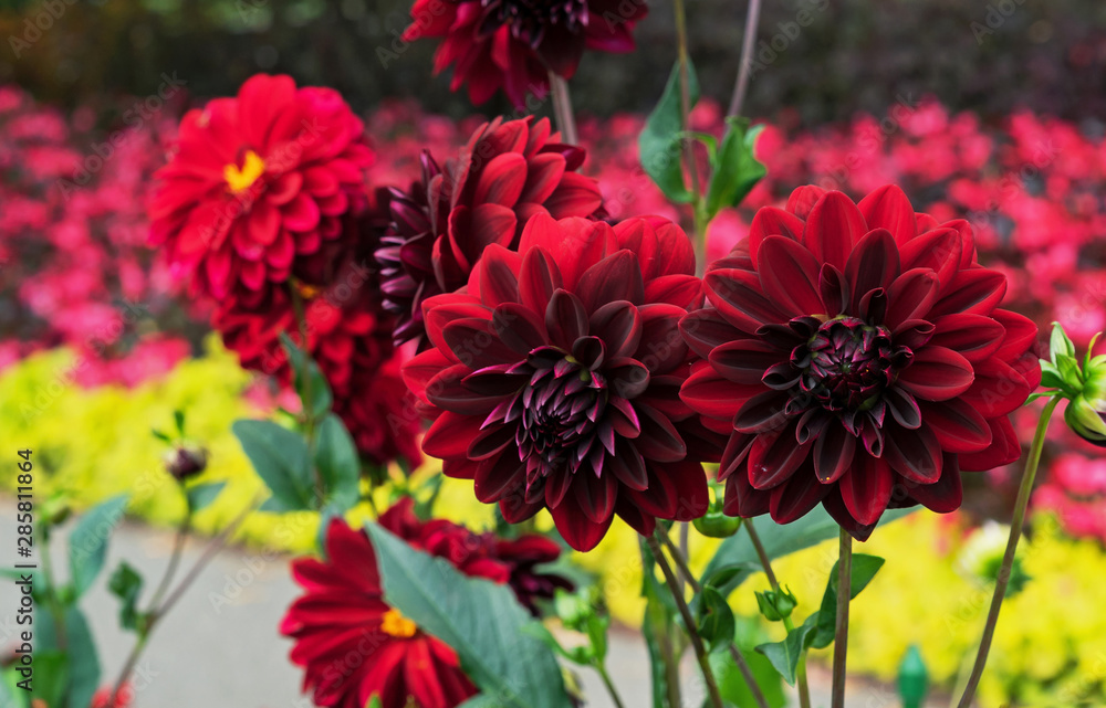 Fototapety, obrazy: Red Dahlias Arabian night bloom in the garden.