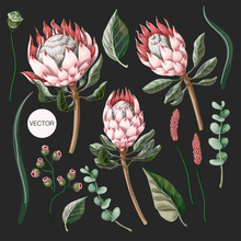 Set Of Protea Flowers, Eucalyptus And Leaves Isolated. Vector.