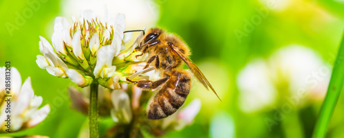 Honey bee on white flower while collecting pollen on green blurred background close up macro.