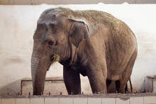 Big Old Asian Elephant At The ...
