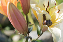Snail On The Background Of A Flower. Brown Shell. Grape Snail Is A Delicacy, It Is Eaten As A Full, Healthy Product. It Is Also Bred For Use In Cosmetology And The Pharmaceutical Industry.