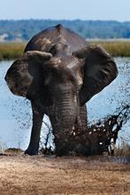 African Elephant Taking A Mud Bath - Botswana