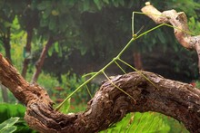 """Stick Insect Ramulus Nematodes """"blue"""" On A Tree Branch"""