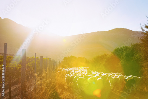 Flock of sheep in village in Perdaxius at sunrise #285838669