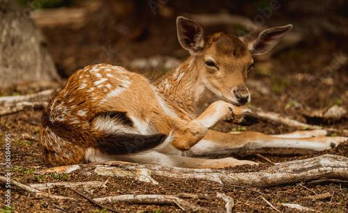 Obraz Młody jelonek,jeleń - fototapety do salonu