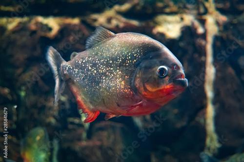 Valokuva  Red-bellied piranha, popular freshwater aquarium fish