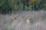 Sarny ,jeleniowate ,dzikie zwierzęta