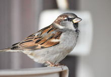 Sparrow Standing On A Chair