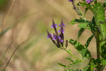 Blue Vervain Flowers In Bloom ...