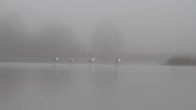 Many Swans Taking Off From Fog...