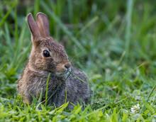 Brown Wild Rabbit In Green Grass In Pennsylvania