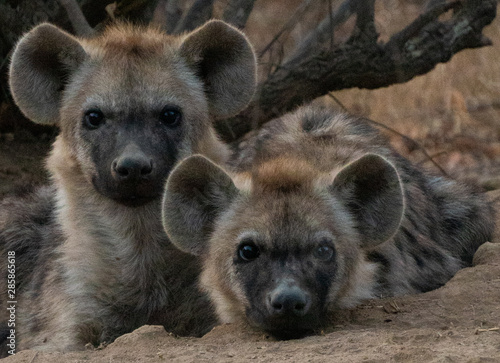 Fotografiet Spotted Hyena cubs faces look at camera