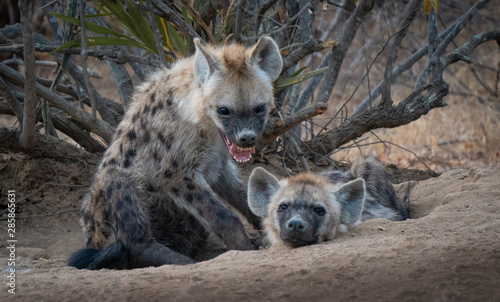 Spotted Hyena cub and adult showing teeth in south africa Wallpaper Mural