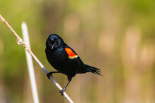 Red Winged Black Bird Perched