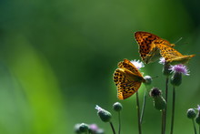 Orange Butterfly On Flower - M...