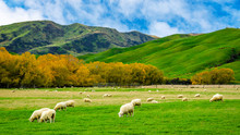 Sheep In Green Grass Field And...