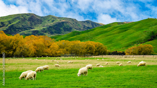 Fotobehang Schapen Sheep in green grass field and mountain with sky background in rural of new zealand